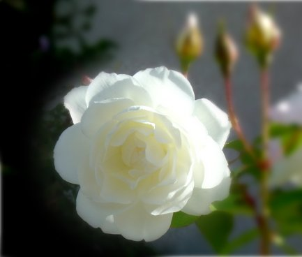 White Rose on Rose Bush - Free Photo