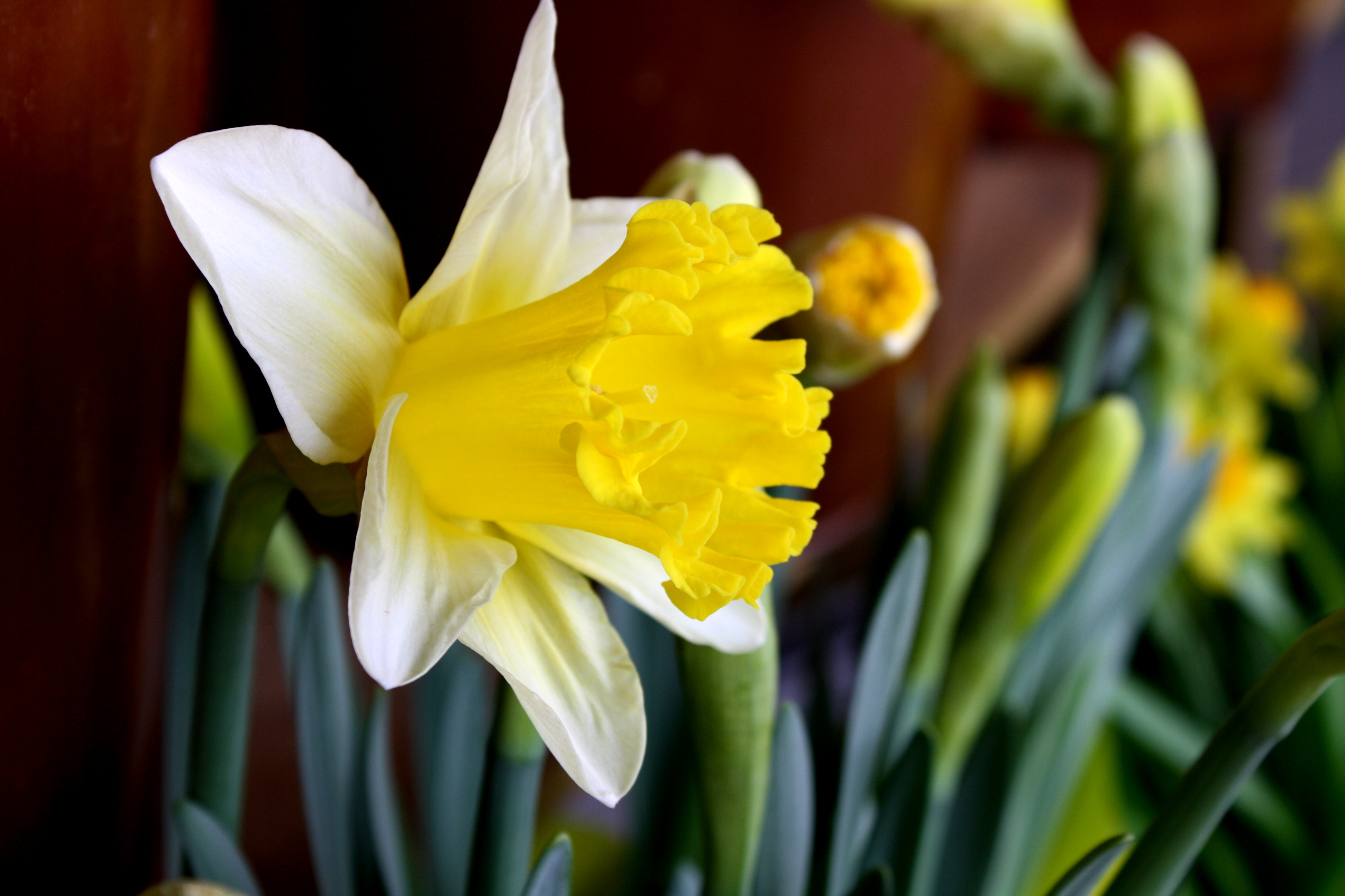 Yellow And White Daffodil Close Up Picture Free