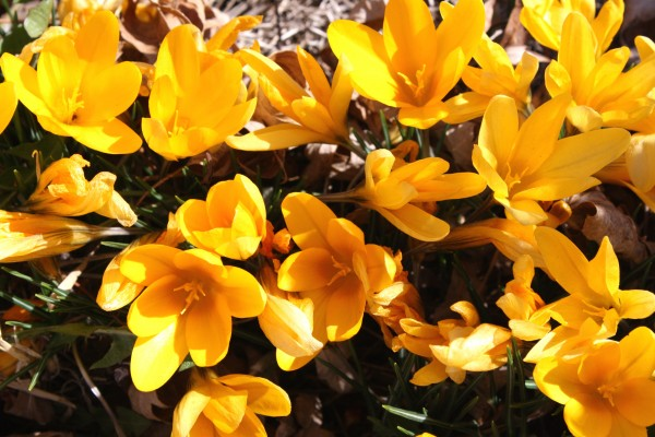Yellow Crocus Flowers Picture Free Photograph Photos