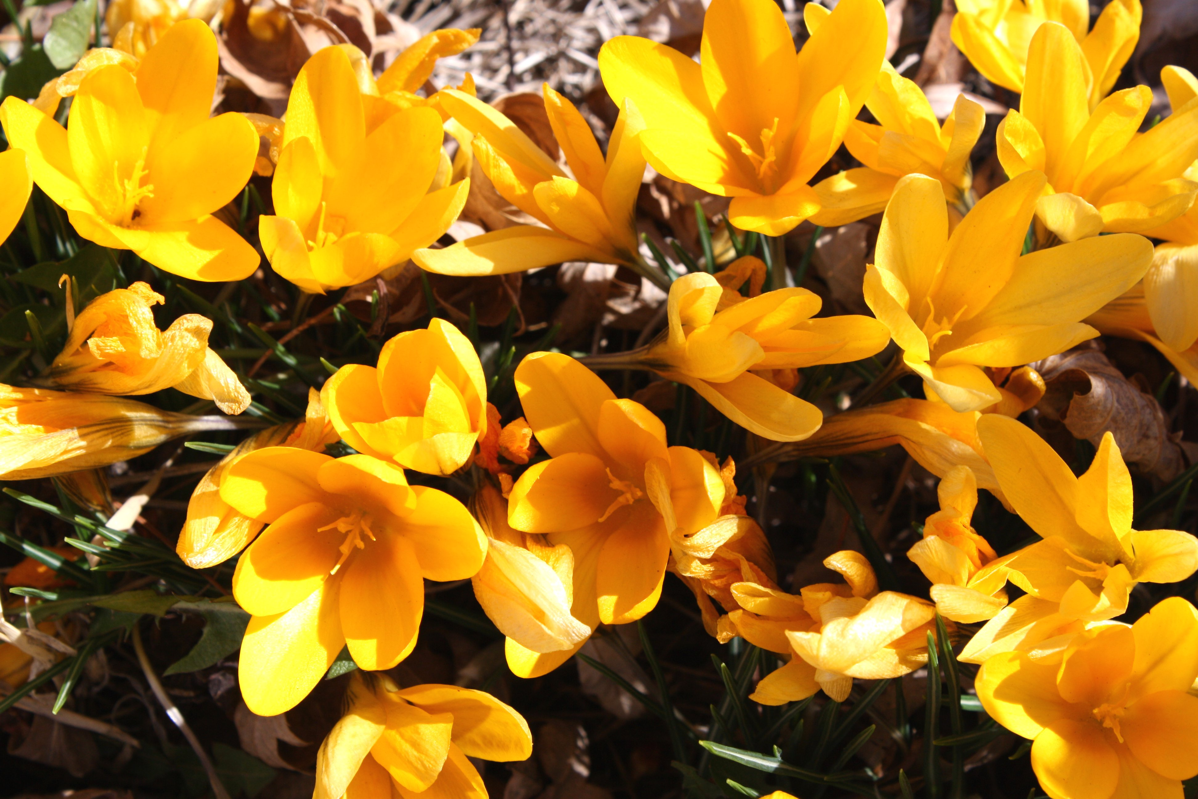 Yellow Crocus Flowers Photos Public Domain