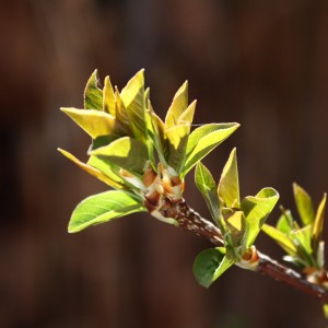 Budding Leaves Close Up - Free High Resolution Photo