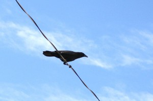 Crow on a Telephone Wire - Free Photo