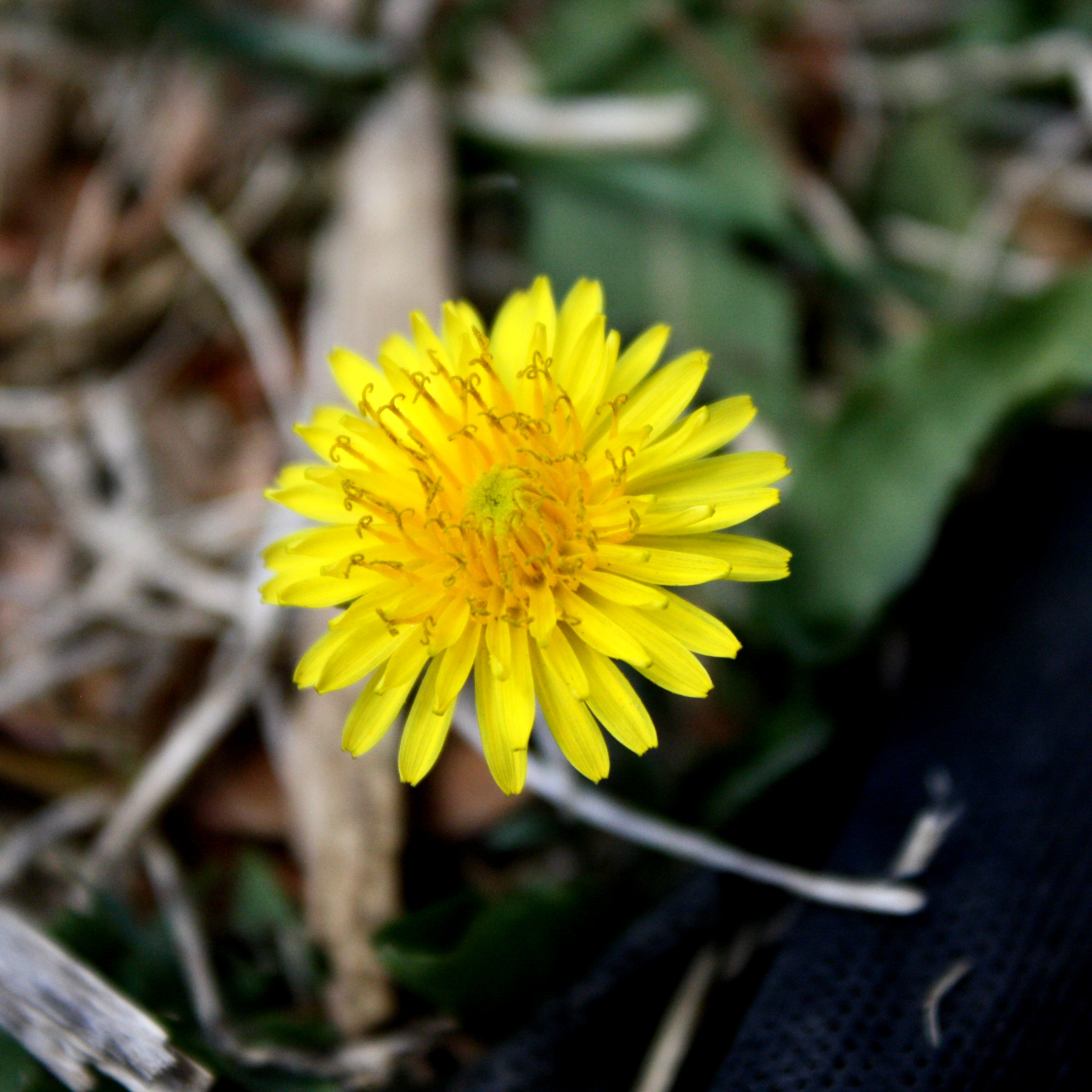 Dandelion Flower Close Up Picture Free graph
