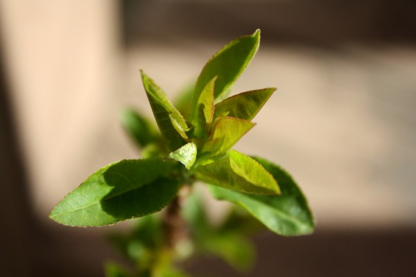 New Spring Leaves Close Up - Free High Resolution Photo