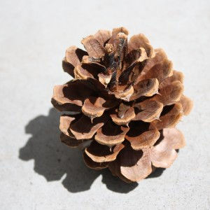 Pine Cone - Free High Resolution Photo