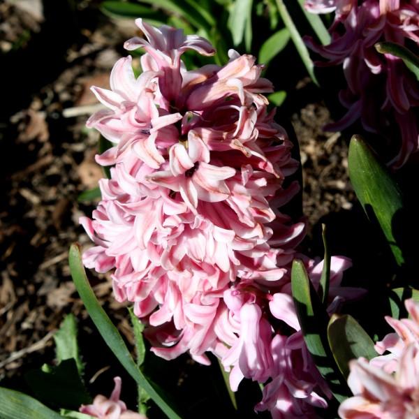 Pink Hyacinth Flowers - Free High Resolution Photo