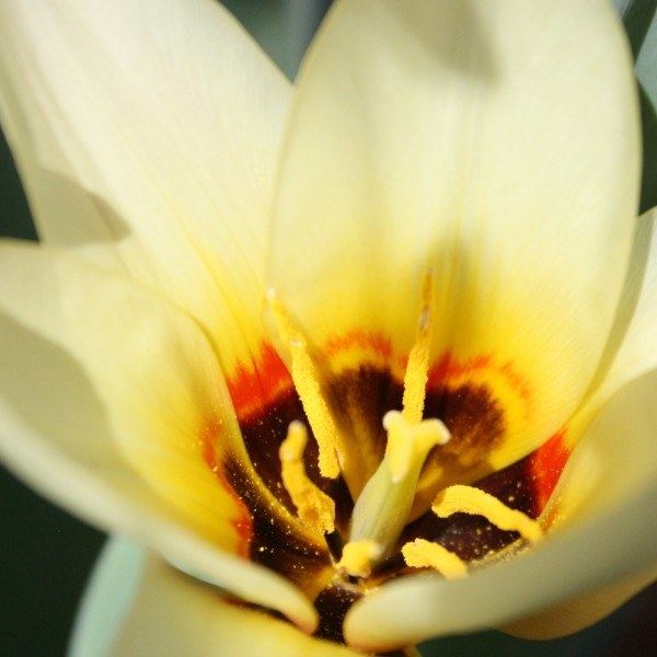 Pollen Inside Yellow Tulip Close Up - Free Photo
