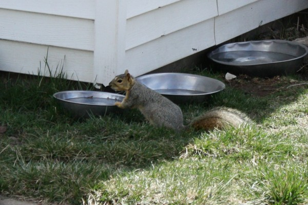 Squirrel Drinking from Dog's Water Dish - Free Photo