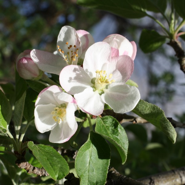 Malus Sugar Tyme Crabapple Blossoms - Free High Resolution Photo