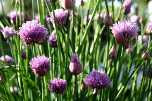 Chive Flowers - Free High Resolution Photo
