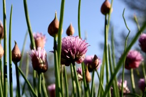 Flowering Chives - Free High Resolution Photo