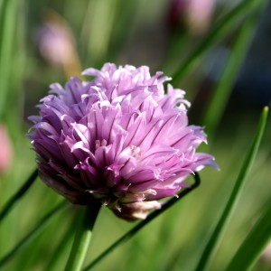 Purple Chive Blossom - Free High Resolution Photo