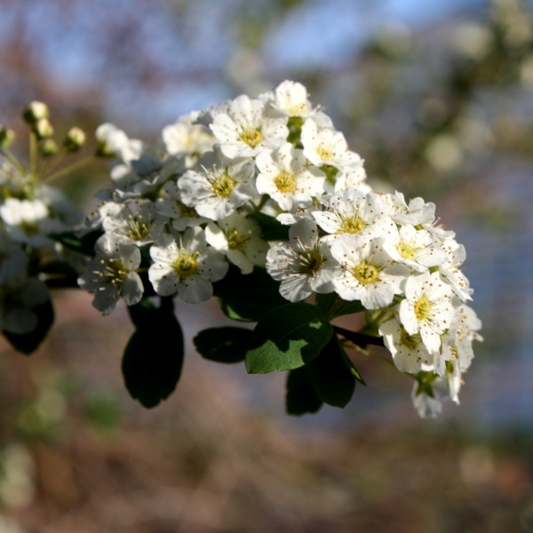White Blossoms - Free High Resolution Photo