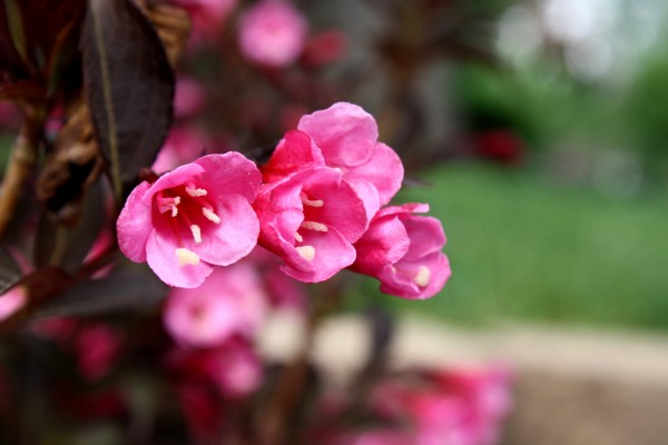 Pink Flowers on Weigela Wine and Roses Bush - Free High Resolution Photo