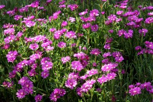 Pink Ice Plant Flowers (Delosperma cooperi) - Free High Resolution Photo