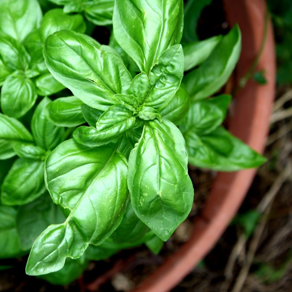 Sweet Basil Plant in Terra Cotta Pot - Free High Resolution Photo