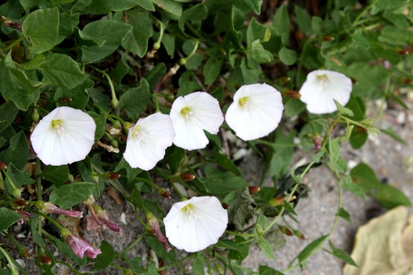Bindweed with White Flowers - Free High Resolution Photo