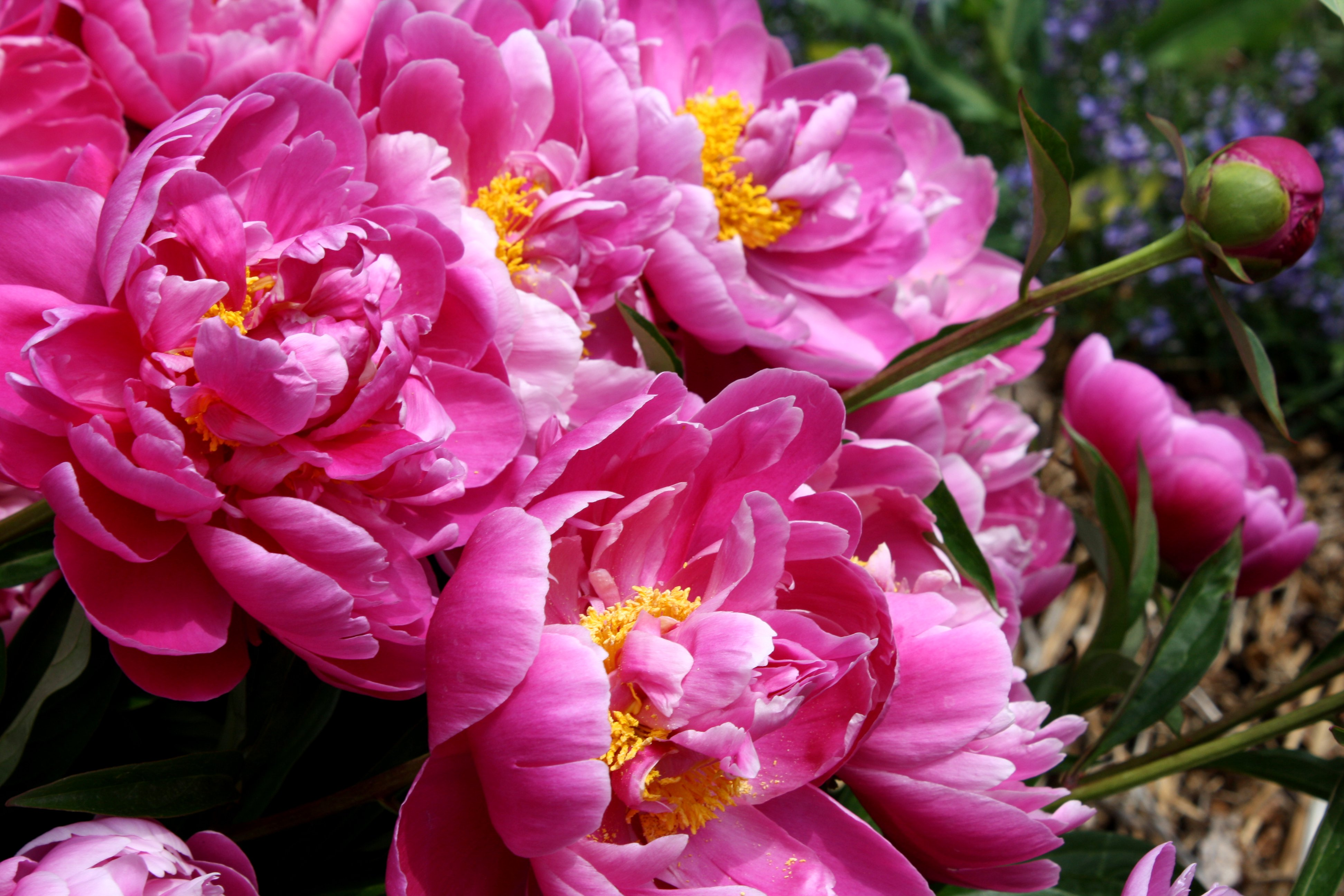 Bright Pink Peony Flowers Picture Free Photograph Photos Public
