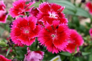 Cherry Red Dianthus Flowers - Free High Resolution Photo