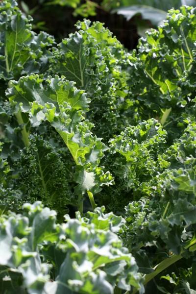 Kale Growing in Garden - Free High Resolution Photo