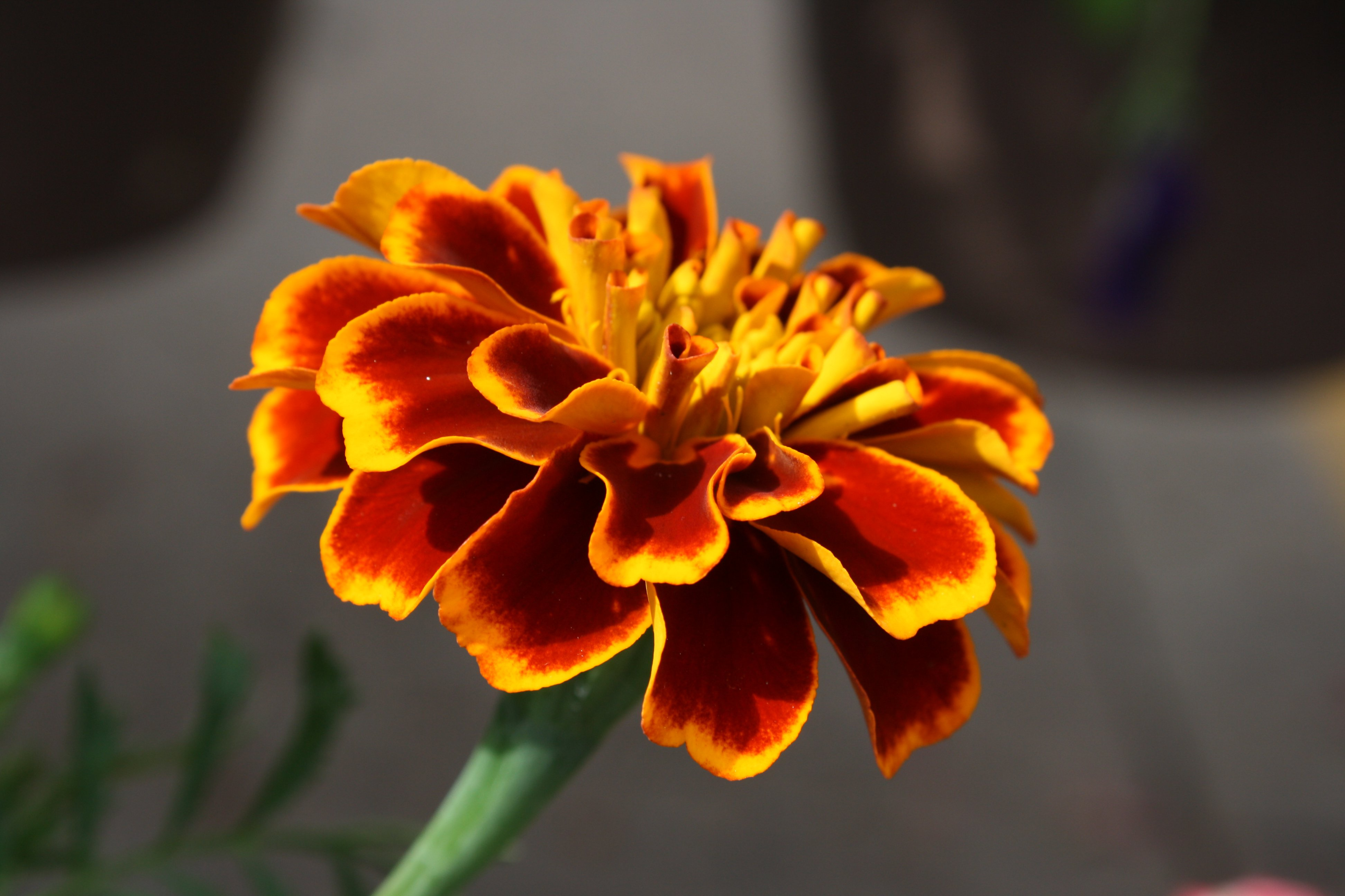 Marigold Flower Picture Free Photograph Photos Public