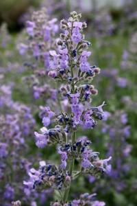 Pale Purple Wildflowers - Free High Resolution Photo