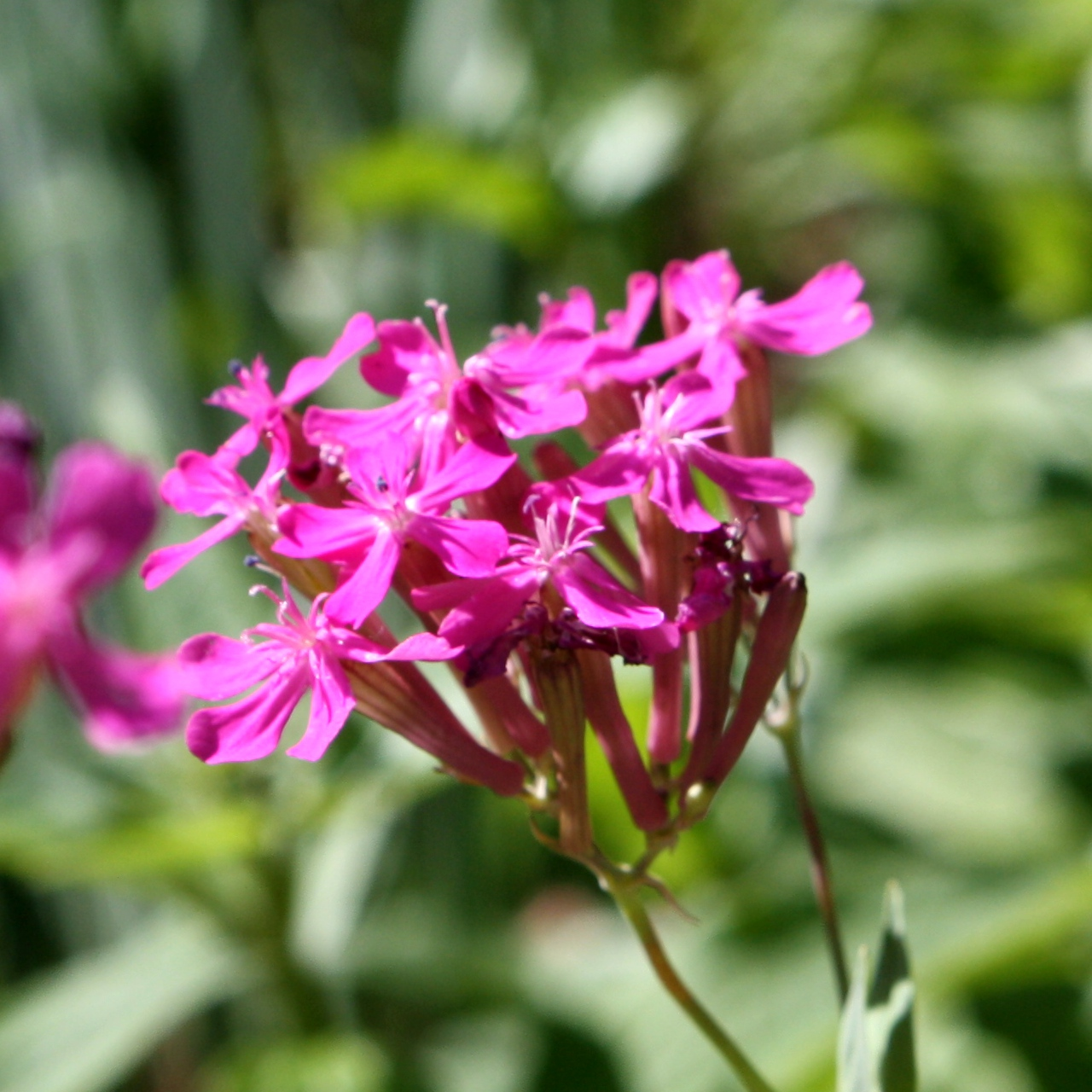 Pink catchfly wildflower blossoms photos public domain pink catchfly wildflower blossoms mightylinksfo