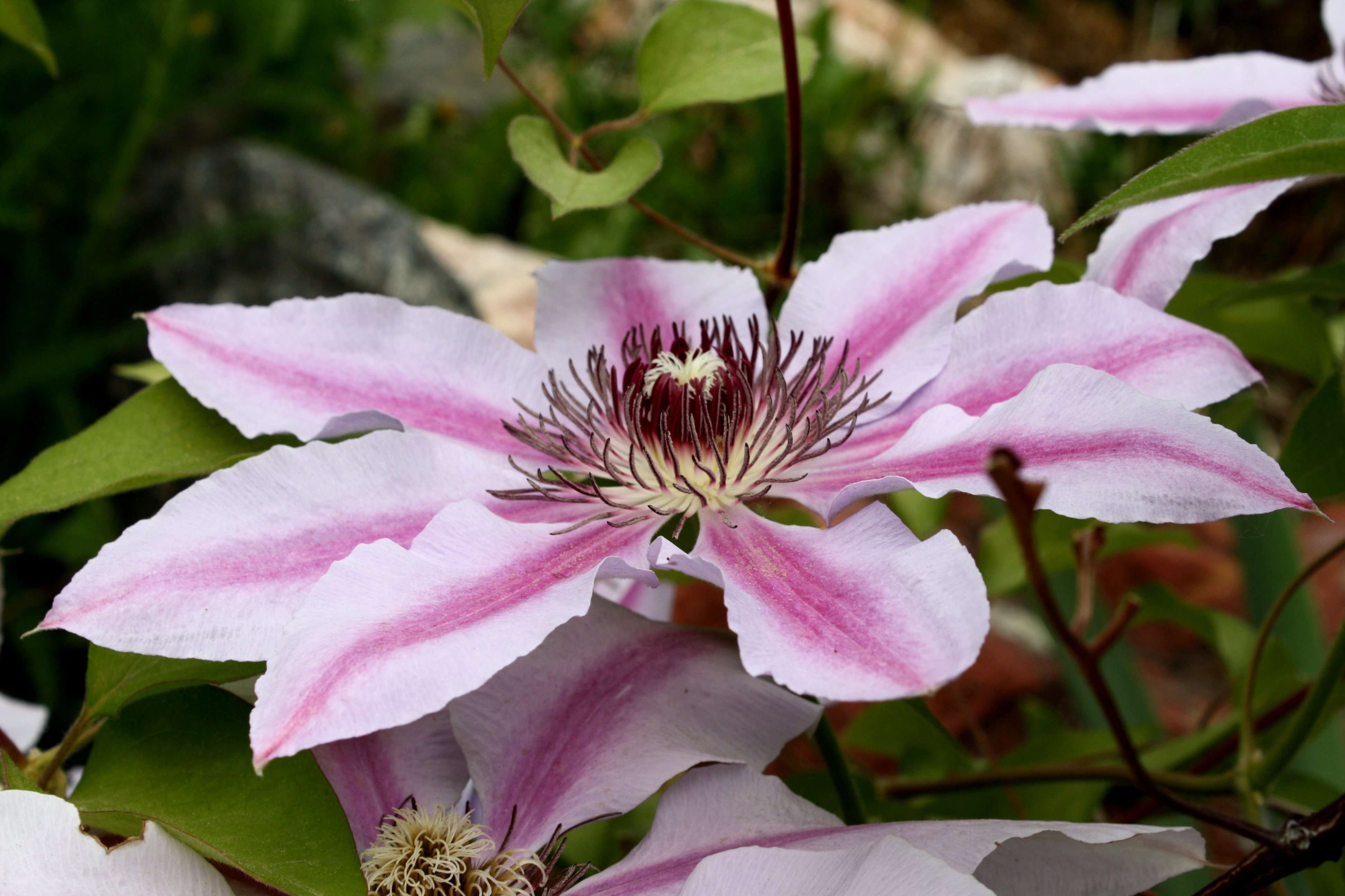 Pink Clematis Flower Nelly Moser Picture Free graph