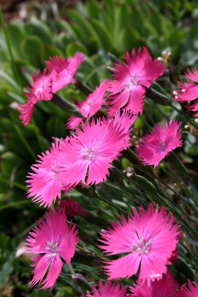 Pink Dianthus Flowers - Free high resolution photo