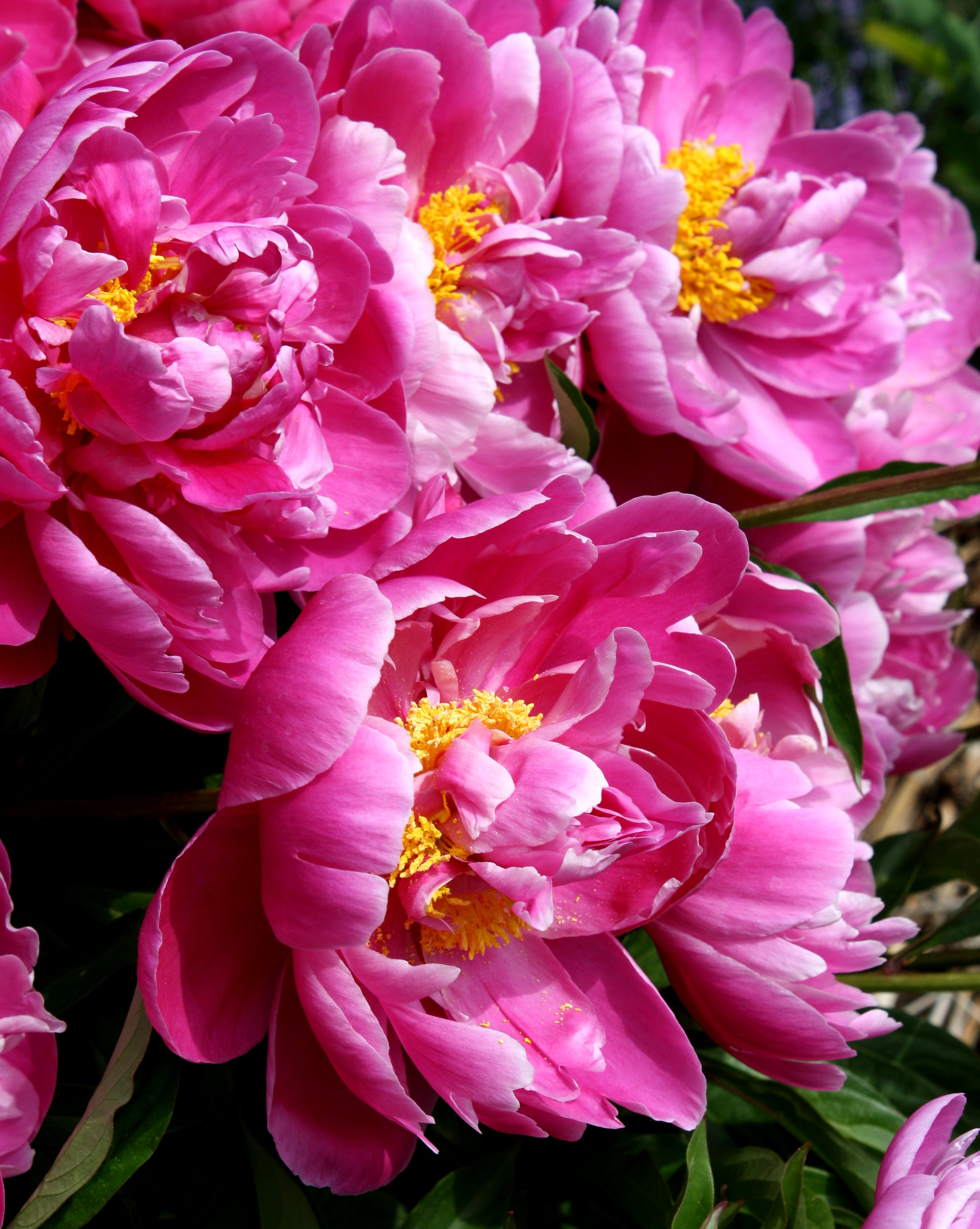 Flowers pictures free photographs photos public domain part 6 pink peonies mightylinksfo Choice Image