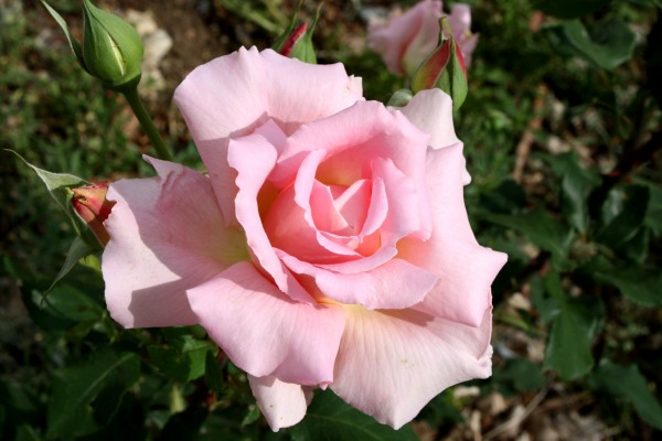 Pink Rose in Full Bloom - Free High Resolution Photo