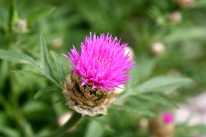 Pink Thistle Flower - Free High Resolution Photo