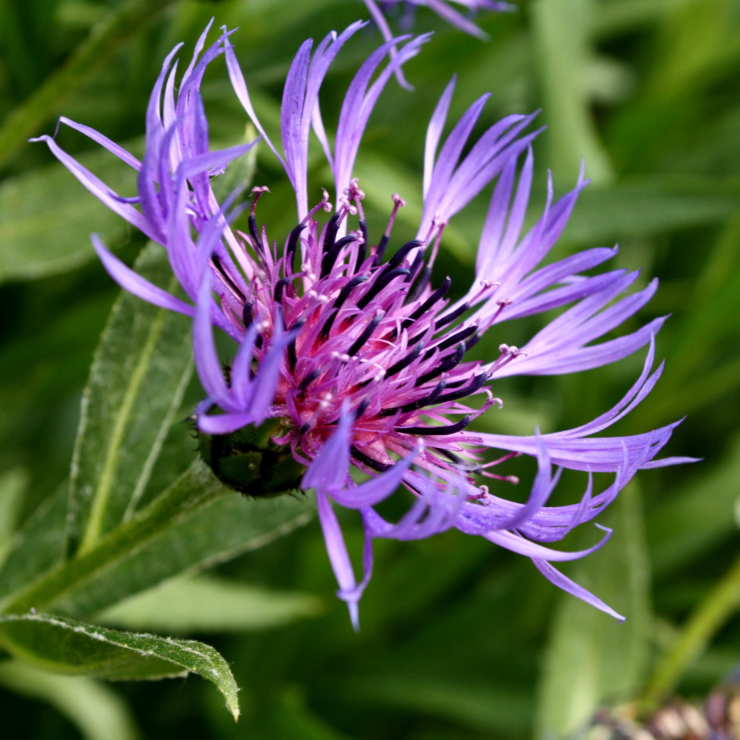 Purple Centaurea Montana Flower Picture Free Photograph Photos