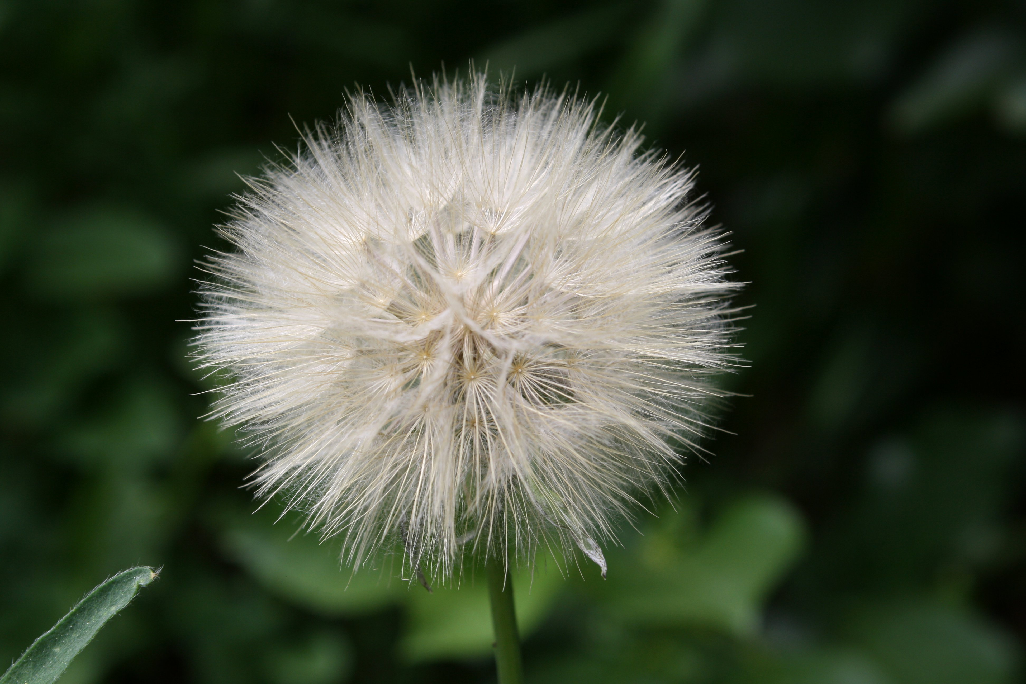 Sowthistle Seed Puff Picture Free Photograph Photos