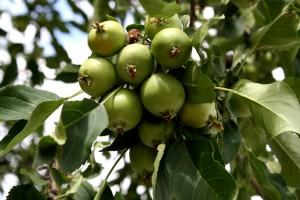 Tiny Green Apples on Tree - Free High Resolution Photo