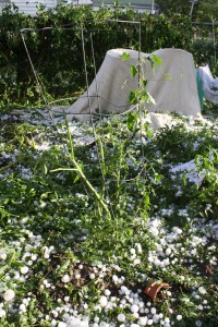 Tomato Plant Destroyed by Hail - Free High Resolution Photo
