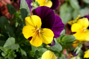Viola Tricolor Pansy Flower Close Up - Free High Resolution Photo