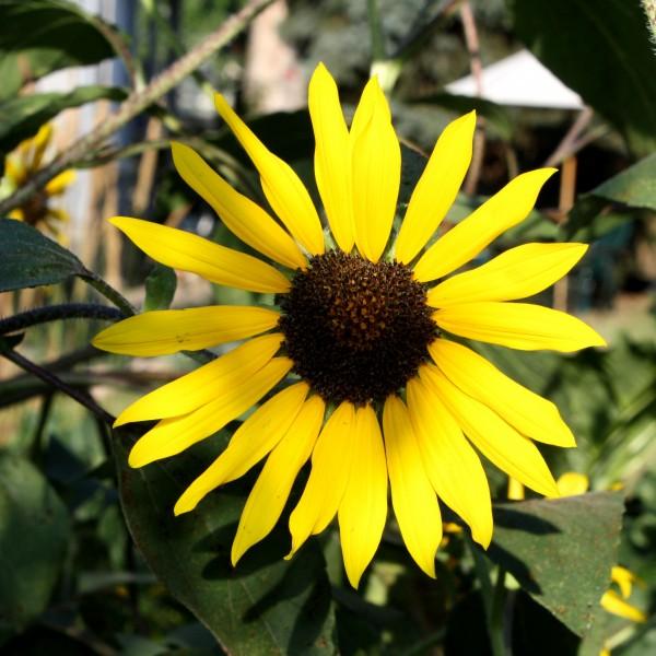 Yellow Sunflower - Free High Resolution Photo