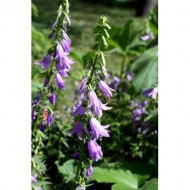 creeping-bellflowers-thumbnail
