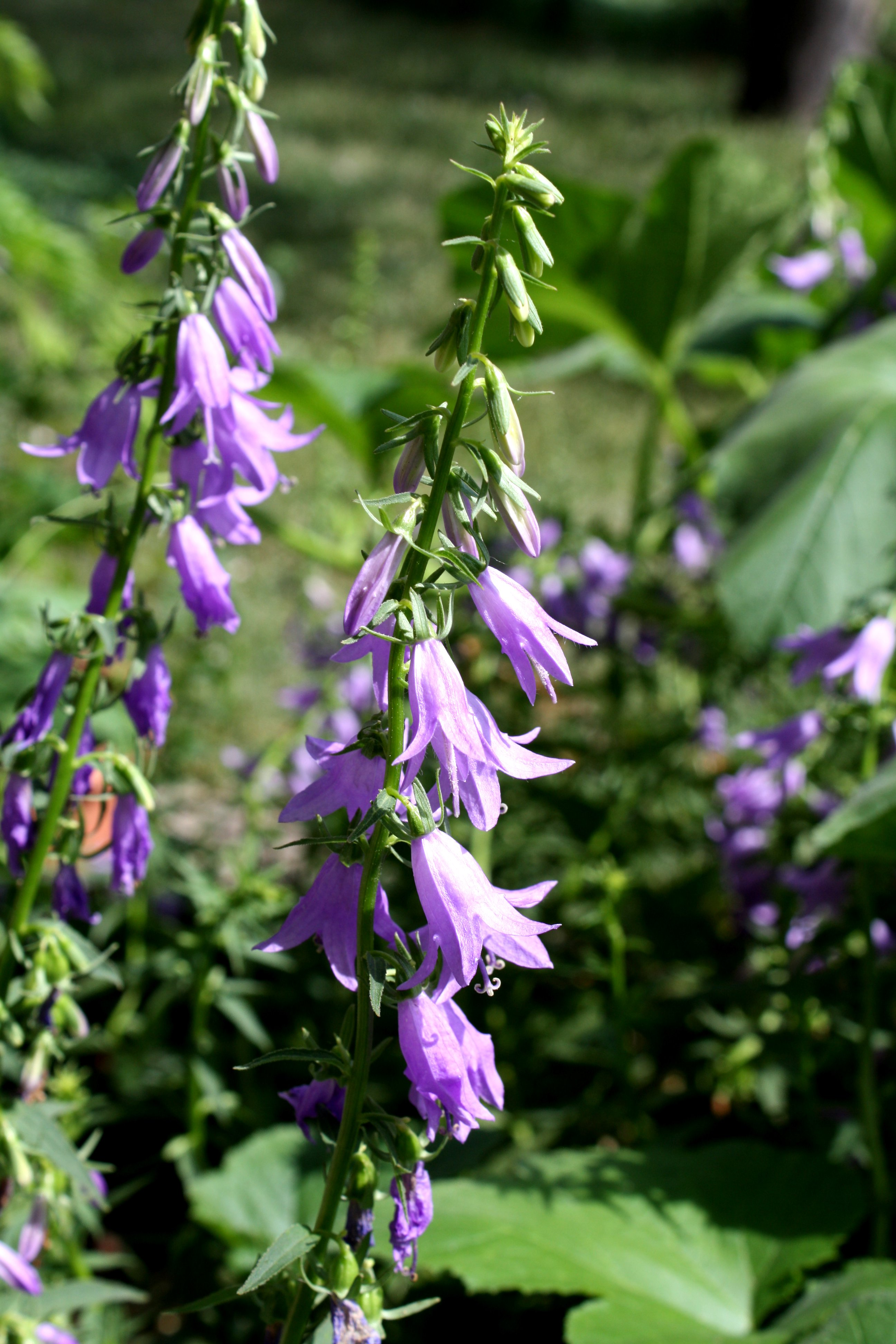 Creeping Bellflowers Picture Free Photograph Photos