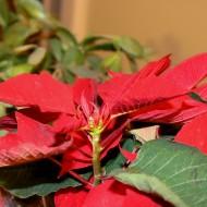Poinsettia Plant - Free High Resolution Photo