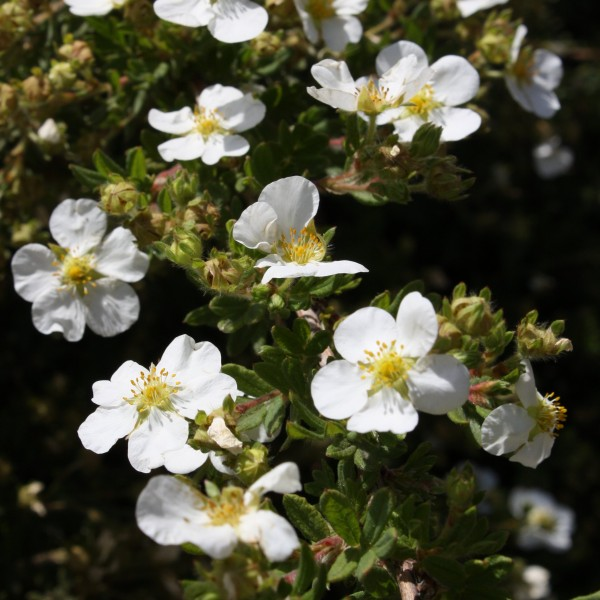 White Wildflower Blossoms - Free High Resolution Photo