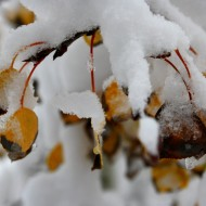 Fall Aspen Leaves Covered with Snow - Free High Resolution Photo