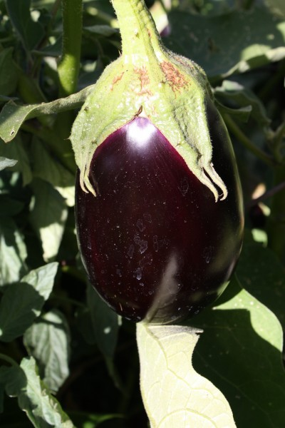 Garden Eggplant - Free high resolution photo