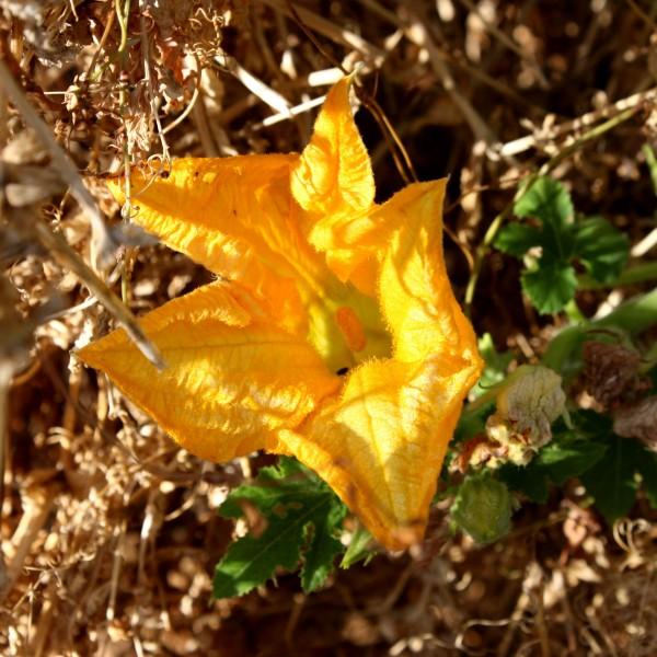 Squash Blossom - Free high resolution photo