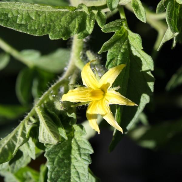 Tomato Blossom - Free High Resolution Photo