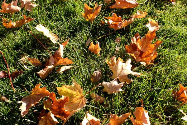 Autumn Maple Leaves on the Grass - Free High Resolution Photo