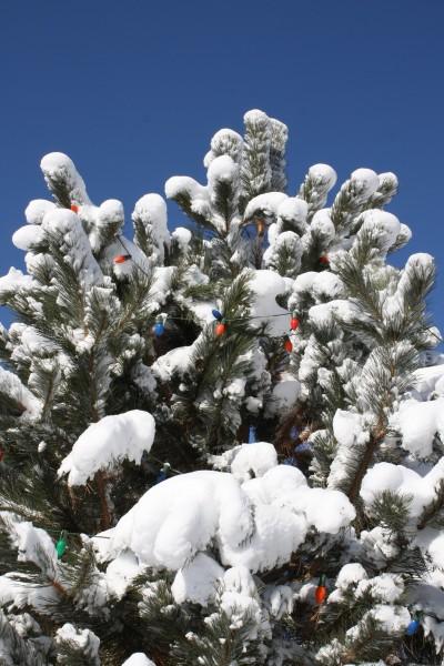 Christmas Lights on Snowy Tree - Free High Resolution Photo