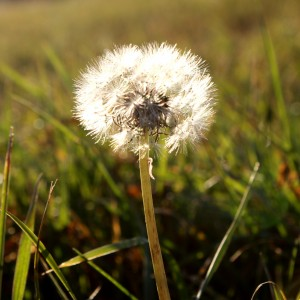 Dandelion Seed Puff in Sunlight - Free High Resolution Photo