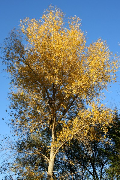 Fall Tree with Golden Leaves - Free High Resolution Photo